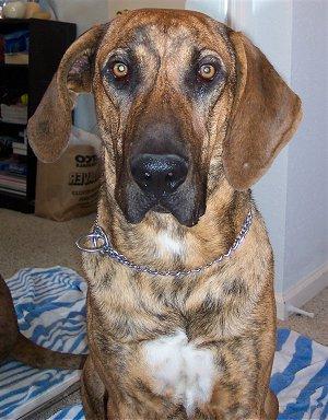 Plott Hound   PetSafe Pet Collar